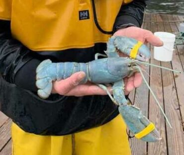 Another Rare Cotton Candy Lobster Caught Off Maine Coast