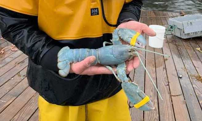 Photo of Another Rare Cotton Candy Lobster Caught Off Maine Coast